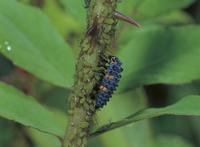 アブラムシを捕食するナナホシテントウの終齢幼虫
