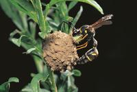 獲物の青虫を泥巣に運び込むキアシトックリバチ
