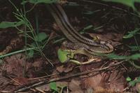 ニホンアマガエル(アマガエル)を捕食するシマヘビ