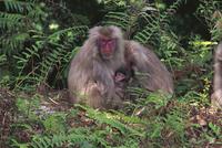 ヤクシマザルの母子 32123000364| 写真素材・ストックフォト・画像・イラスト素材|アマナイメージズ