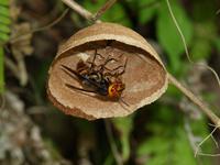 巣作りをするコガタスズメバチの女王