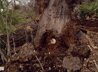 クヌギの朽木にいるカブトムシの幼虫(朽木のボロボロになった柔かい場所からもよく見つかる)