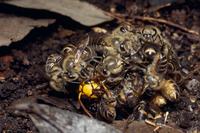 キイロスズメバチを蜂球で囲んで熱殺しようとするニホンミツバチ