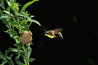 巣に餌を運ぶキアシトックリバチ