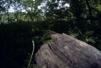 アリスアブ 交尾対と羽化直後のメス トビイロケアリ巣の朽木