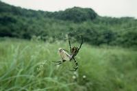 ホソオチョウのオス コガネグモに捕えられる