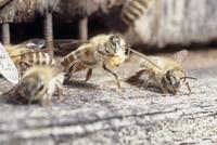ニホンミツバチ 雄蜂児の巣蓋を捨てに出るワーカー