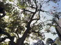 ニホンミツバチ 庭のカキの枝に裸出した巣