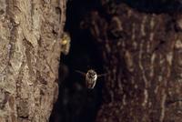 ニホンミツバチ スダジイ樹洞巣より出巣するワーカー
