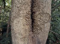 ニホンミツバチ ワーカー一斉の振身行動(対キイロスズメバチ) シラカシ樹洞巣