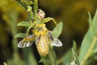 ハナグモに捕食されるニホンミツバチ(たかっているのはコガネバエの仲間)