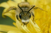 ハナバチの一種 タンポポの花にくる
