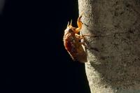 アブラゼミの幼虫 木の幹を上へ上へと登っていく PM6:43