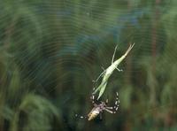 ナガコガネグモ ショウリョウバッタオスが巣網にかかる