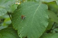ベニシジミ 雨の日