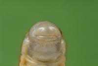 カブトムシ 幼虫のおしり