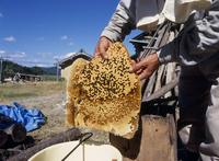 ニホンミツバチ 採蜜(巣盤)