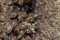ニホンミツバチ キイロスズメバチを蜂球で包んだ