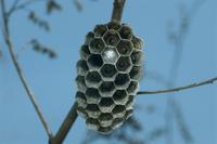 フタモンアシナガバチ