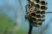 フタモンアシナガバチの女王 排水