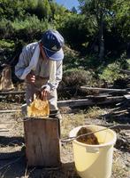 ニホンミツバチ 採蜜
