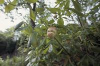 ナラメリンゴフシ(ナラメリンゴタマバチ) コナラ