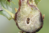 クリタマバチ 虫コブ内の羽化成虫
