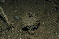 ツクツクボウシ幼虫の作った「セミの塔」