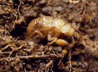 ツクツクボウシの幼虫