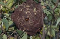 コガタスズメバチの巣(大)