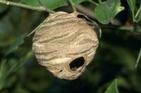 コガタスズメバチの巣 初期