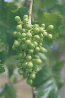ブドウ'巨峰'の幼果:摘粒前(一房につき35粒ほどに摘粒され
