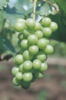 ブドウ'巨峰'の幼果:摘粒後(一房につき35粒ほどに摘粒され