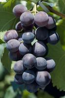 ブドウ 色付き初め 赤から黒くなっていく 品種:巨峰