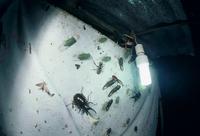 ライトトラップに集まった昆虫 モーレンカンプオオカブトなど