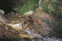 自然落差を越え、上流へ移動するオオサンショウウオ