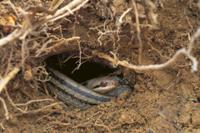 シマヘビの冬眠