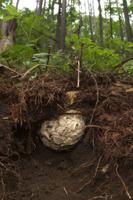 シダクロスズメバチ 地中の巣