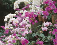 コチョウランの花