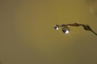 マダケの皮に付く水滴
