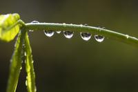 アサガオのつるに付く水滴
