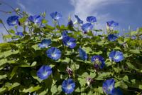 アサガオ(ヘブンリーブルー)の花 32133001118| 写真素材・ストックフォト・画像・イラスト素材|アマナイメージズ