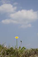 カントウタンポポのイメージ