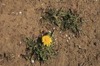 ロゼット状で咲くタンポポの花