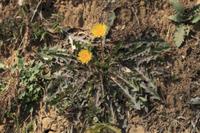 カントウタンポポ 広げた根生葉と全体の様子