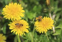セイヨウミツバチ 花粉団子