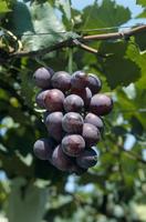 ブドウ 品種:巨峰