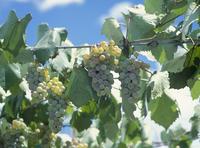 ブドウ 品種:甲州