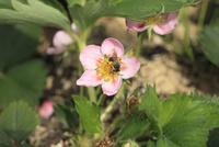 イチゴの花(アカバナ種)とハチ
