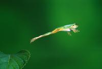ニホンアマガエル(アマガエル)のジャンプ 連続3/3 32137000004| 写真素材・ストックフォト・画像・イラスト素材|アマナイメージズ